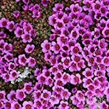 100 Seeds Saxifraga Purple Robe Flower Seeds (Saxifraga Arendsii)