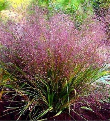 (100 Purple LOVEGRASS Eragrostis Spectabilis Native Love Grass Flower)