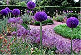 50 Pcs/bag, Purple Giant Allium Giganteum Beautiful Flower Seeds Garden Plant Gift