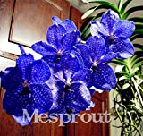 100 Seeds Vanda Coerulea Seeds Diy Plants Pot Seed Germination Rate Of %95 3 #32722953921ST