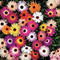 Ice Plant-Livingston Daisy Mix- 100 Seeds