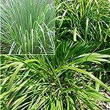 Rosepoem 100Pcs Organic Live Lemongrass Plants Seeds Mosquito Repellent Plant