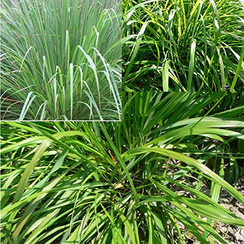 BigFamily 100Pcs Organic Live Lemongrass Plants Seeds Mosquito Repellent Plant