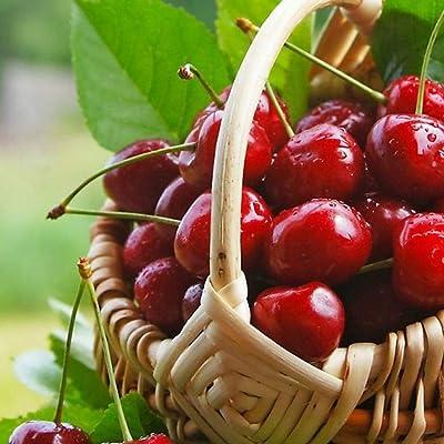 HOTUEEN Cherry Seeds Garden Farm Potted Bonsai Delicious High Germination Organic Fruit Fruits : Garden & Outdoor