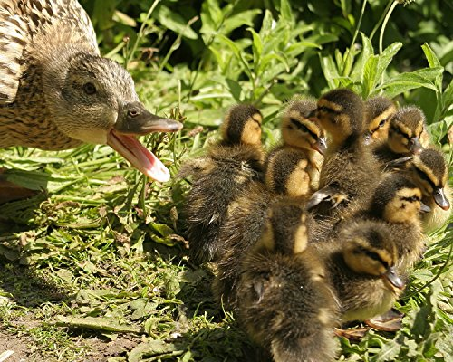 Mother Duck and Babies / Ducklings 8 x 10 GLOSSY Photo Picture (10 Photo Ducks)