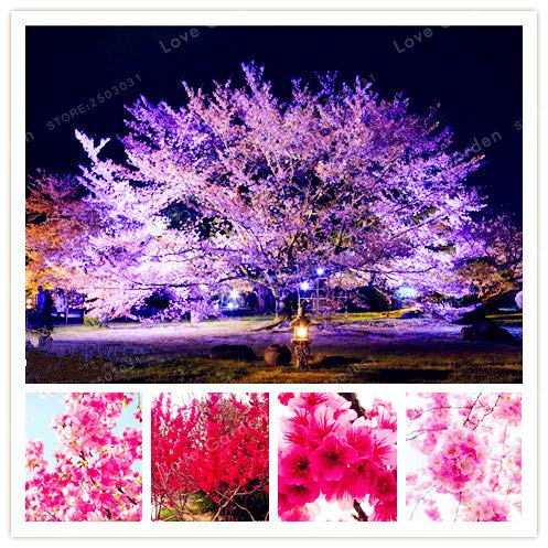 ag Beautiful Cherry Blossoms Flowering Seeds Potted Outdoor Planting Seeds Garden Plant Easy to Grow: Mix ()