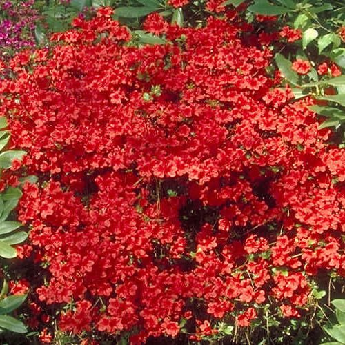 1 X AZALEA 'GEISHA RED' JAPANESE EVERGREEN SHRUB HARDY PLANT IN POT Gardener's Dream