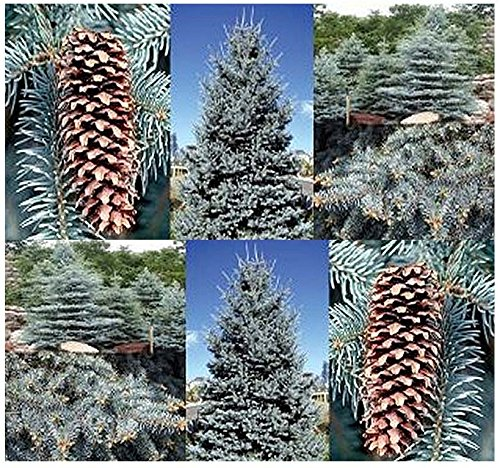 Colorado Blue Spruce, Picea pungens glauca, Tree Seeds - Hardy Zones 2-7 - By MySeeds.Co (Blue Spruce x 1 Pack)