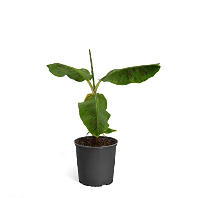 Brighter Blooms - Cold Hardy Dwarf Cavendish Banana Tree - Indoor/Outdoor Tropical Fruit Plant, 6 Inch Pot, No Shipping to AZ : Garden & Outdoor