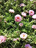 Portulaca (Purslane) Moss Roses Double-flowered Pink Flower 1500 Seeds