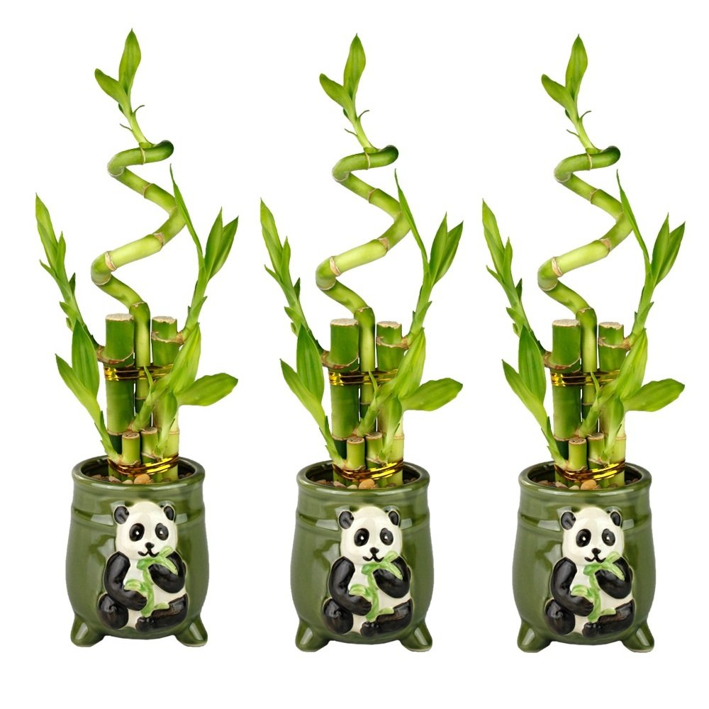 Set of Lucky Bamboo Five Stalk Arrangements with Green Ceramic Panda Pots (Set of 3)