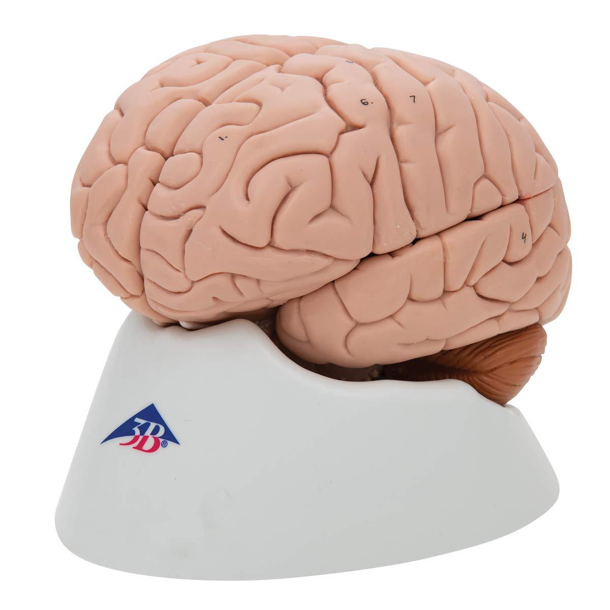 3B Scientific Deluxe 8-Part Brain by 3B Scientific (Image #4)