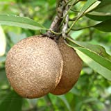 zapote fruit - 25 Achras sapota Seeds, Chico Sapote, Zapote, Chicle tree Seeds, Sapodilla, Ciku, Naseberry, Nispero, Sapote, Brown Sugar Fruit