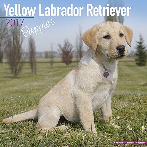 Lab Puppies Calendar - Yellow Labrador Retriever Puppies - Dog Breed Calendars - 2016 - 2017 wall calendars - 16 Month Calendar by Avonside - Lab Puppies Calendar