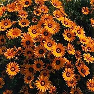 African Daisy - Orange- 50 Seeds : Garden & Outdoor