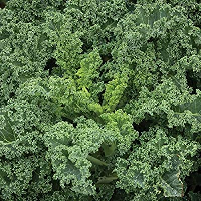David's Garden Seeds Kale Westlandse Winter SL0938 (Green) 200 Non-GMO, Organic Seeds