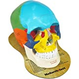Upgraded Life Size Human Colored Head Skull Anatomical Model with Newest Laser-Etched Fonts and Skull Diagram Mouse Pad for M
