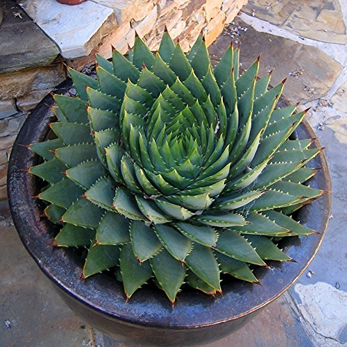 Blisscomdep 100Pcs Aloe Polyphylla Seeds Amazing Spiral Aloe/Rotation Vera Succulents Horticulture/Household Plant Seeds Garden/Office/Yard Decor