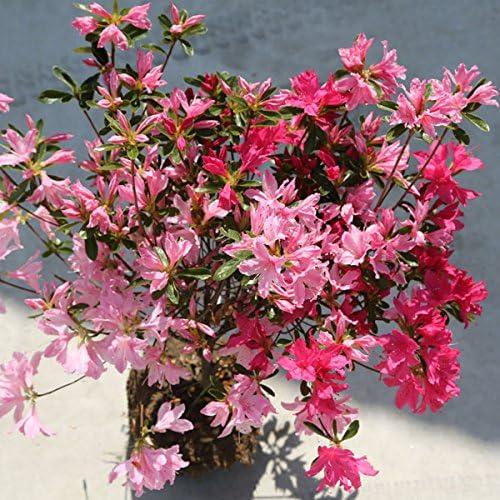 庭木:久留米つつじ/クルメツツジ (新常夏) 白、ピンク、赤色の絞り咲き!