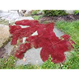 200 PCS Imported red Moss Seeds,, EASY GROW Seeds for DIY home garden decoration ornamental-plant
