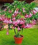 Dwarf Brugmansia Plant 30 Seeds Angel's Trumpets