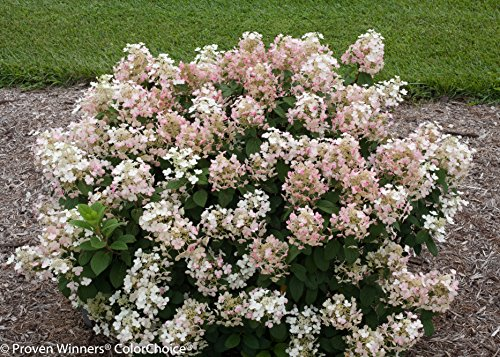 Little Quick Fire Hardy Hydrangea (Paniculata) Live Shrub, White to Pink Flowers, 1 Gallon by Proven Winners (Image #7)