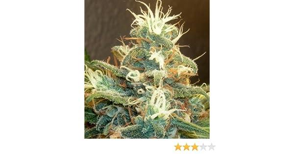 Drying of fresh cannabis buds
