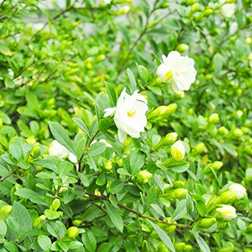 Leaftree Gardenia Seeds,50Pcs/3G Wild Gardenia Seeds Rare Tropical Plant Seeds White Flower Seeds Perennial Long Lasting Plant