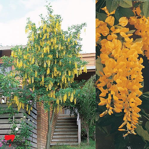 - 24-36 Inches Tall - Golden Chain Tree Laburnum anagyroides Live Potted Tree