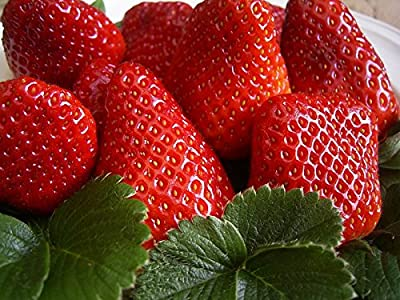 20 Chandler Strawberry Plants (pack of 20 Roots for $18.95) - ONE of OUR TOP SELLERS BERRY! Best in Zones: 4-9.