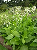 5 Bare Root of Nicotiana Sylvestris - Ornamental Tobacco