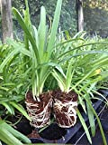 Agapanthus Lily of the Nile Qty 60 Live Plants Groundcover