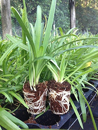 Agapanthus Lily of the Nile Qty 60 Live Plants Groundcover by Florida Foliage