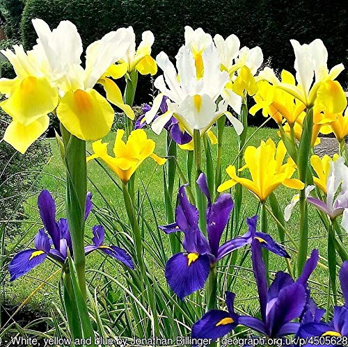 - 20 Mixed Siberian IRIS Sibirica Iris Bicolor Blue Red White Purple Flower Seeds