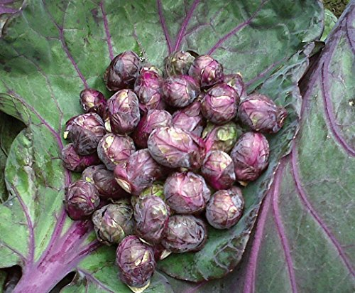 Seeds Brussels Sprouts Rosella Purple Cabbage Vegetable Organic Heirloom Ukraine for Planting
