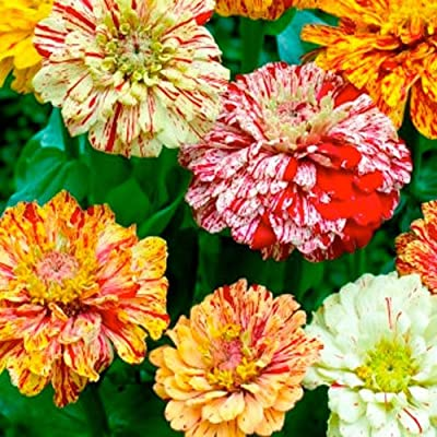 Package of 250 Seeds, Candy Stripe Mixed Zinnia (Zinnia elegans) Non-GMO Seeds By Seed Needs