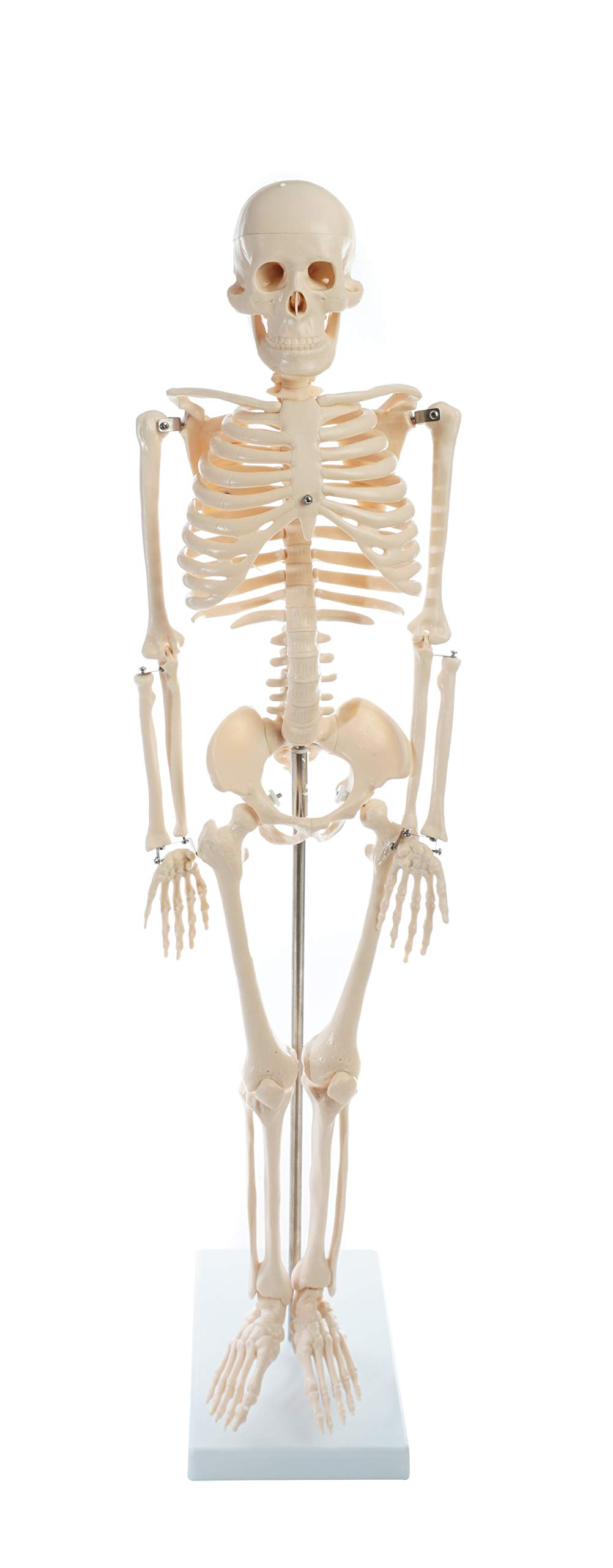 American Educational Skeleton Model, 34'' Height