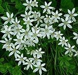 5 Bulbs STAR OF BETHLEHEM LILY BULBS ORNITHOGALUM HARDY PERENNIAL PLANT FLOWER