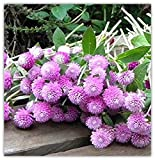 ChinaMarket Gomphrena Seeds Pink Bonsai Flower seeds 100% Plant 100seeds/bag