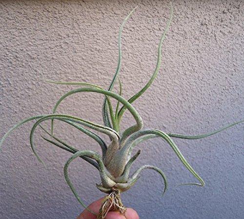 10 Pack Tillandsia Caput Medusae 3.5-4