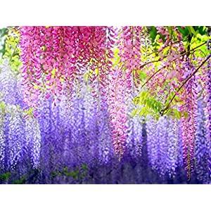 e-Joy Realistic Artificial Silk Wisteria Vine Ratta Silk Hanging Flower Plant for Home Party Wedding Decor and Other Various Events, 12 Pieces, 3.6 Feet Each Light Blue 3