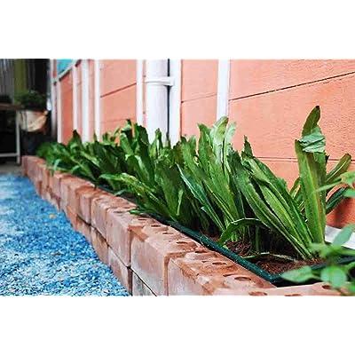4, 000+ Seeds Thai Organic Parsley (Non GMO), Culantro, Mexican Coriander, Recao, Cilantro ancho, Long Coriander, Parsley (Eryngium foetidum) Herb Seeds. : Garden & Outdoor