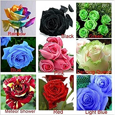 ( 240pcs / Lot ) (24 kinds Each kind have10pcs) 2015 Colorful Rose Seeds rare rose flower seeds Flower Pots Planting home Garden : Garden & Outdoor