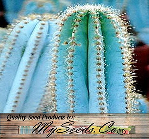 BIG PACK - (200) Pilosocereus BLUE RARE Cactus Mix - CACTUS Seeds GORGEOUS BLUE - Excellent For Greenhouse Or As House Plants - FRESH CACTUS SEEDS - By MySeeds.Co (Pilo. Blue Mix - BIG PACK)