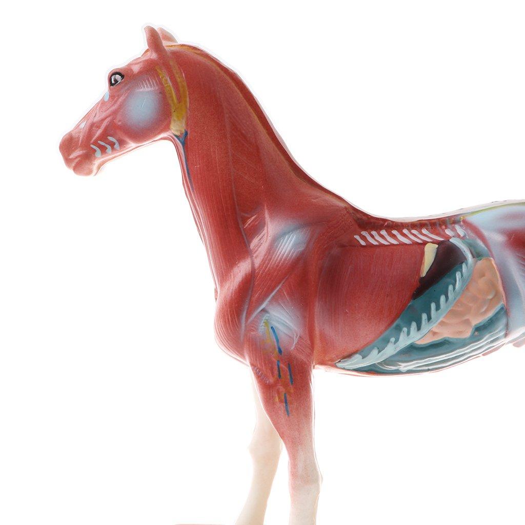 Berühmt Pferd Reproduktive Anatomie Fotos - Anatomie Von ...