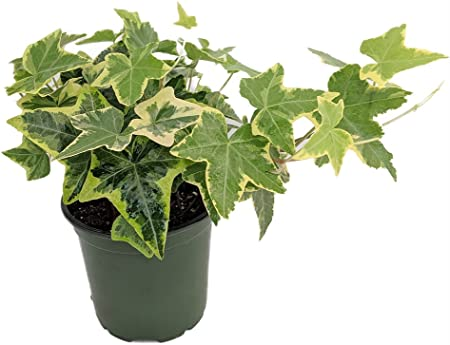 Gold Child English Ivy - Hardy Groundcover/House Plant - Sun or Shade on ivy houseplant, yucca elephantipes house plant, ivy water plant, ivy ice plant, ivy flower, ivy indoor plant,