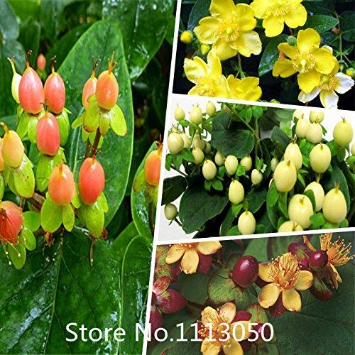 New Arrival! 100pcs/lot Hypericum seeds Flowers seeds Rare Flowers For Bonsai Balcony Garden Planting Hypericum Flowers Free shi