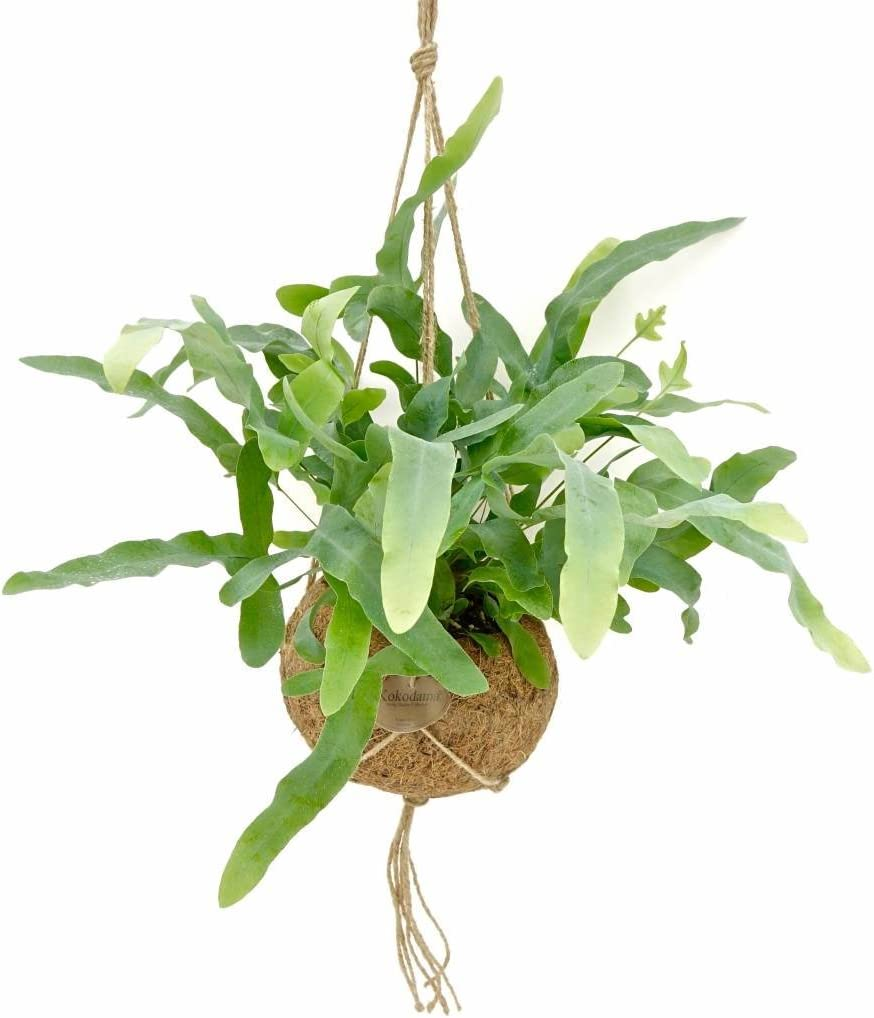 House Plant Pot Size 17 cm 1x Height 30 cm FloraStore Kokodama Phlebodium