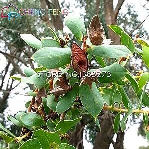 La muerte semillas de Rose de especies de plantas raras y misterioso de la semilla de la flor de Snapdragon vainas de los guisantes del cráneo 50pcs Francia caliente del envío libre