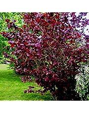 """Corylus maxima """"Purpurea"""" (Nocciolo rosso) [Vaso Ø24cm]"""